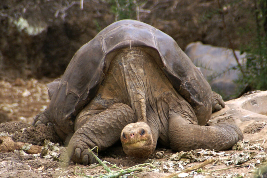Lonesome George in seiner Heimat Santa Cruz.