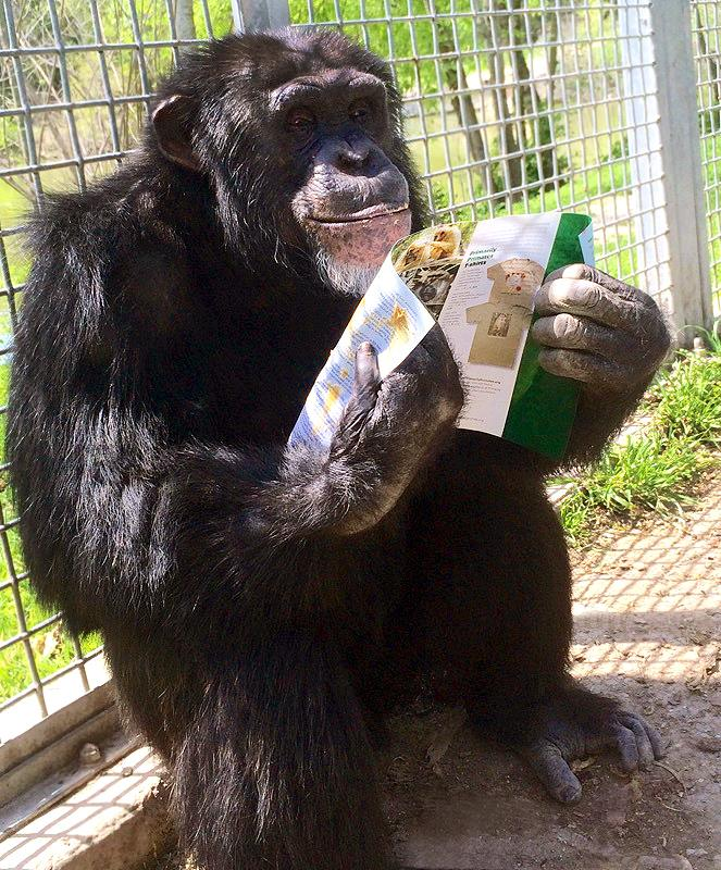 Ein Schimpanse