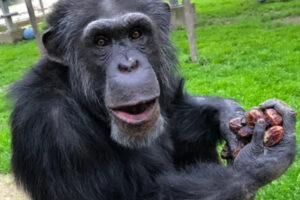 Ein Schimpanse in einem Gehege