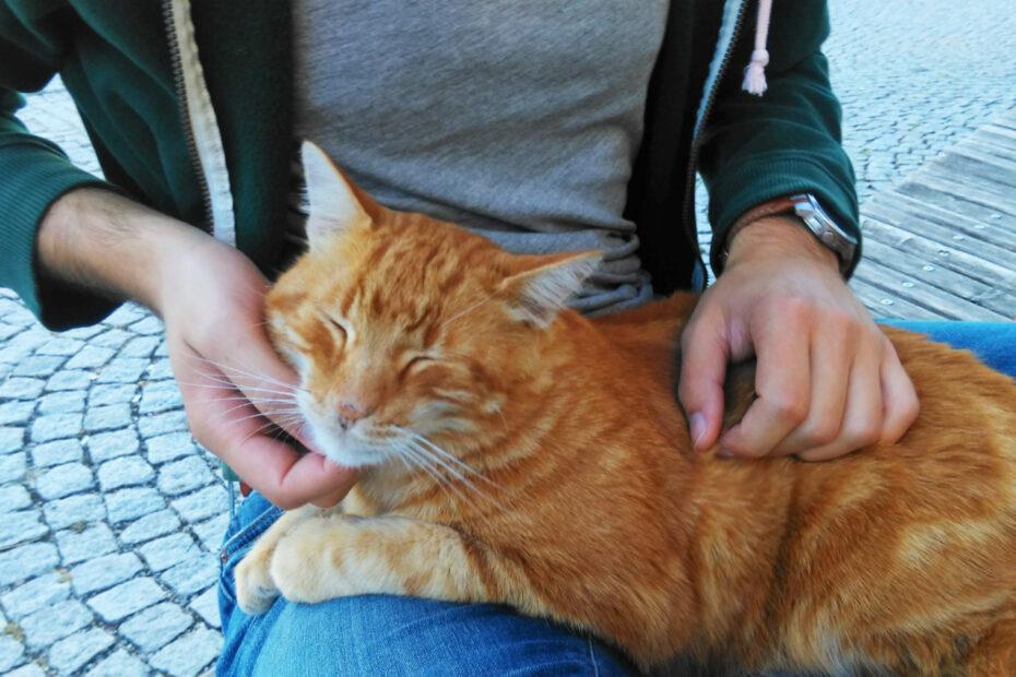 Ein rotbrauner Kater sitzt auf dem Schoß eines Mannes, der ihm den Kopf krault.
